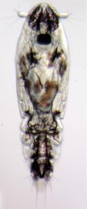 copepoditt